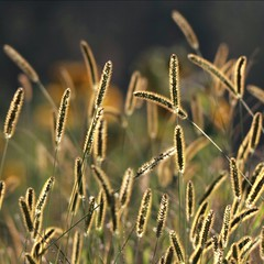 grasses-outlines