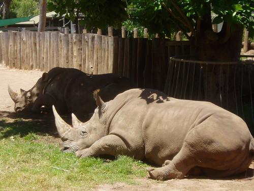 rhino sunbaking at zoo