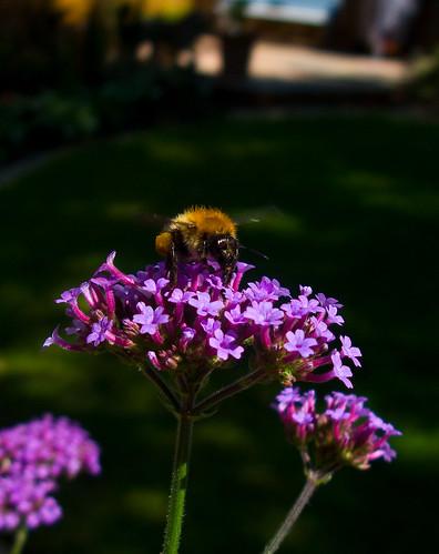 Bee on verbena bonensiaris
