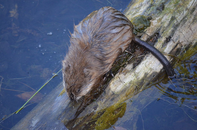 water rat, Wasserratte