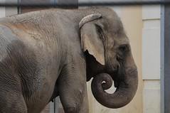Asiatischer Elefant Dina im Zoo de Maubeuge