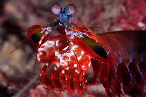 Odontodactylus scyllarus 蟬形指蝦蛄