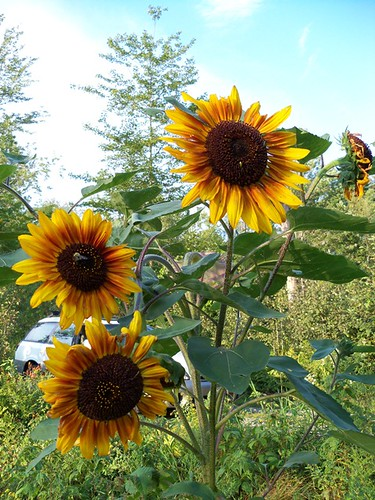 august sunflowers