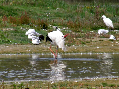 Drinking stork