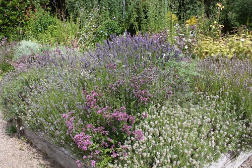 20110805_IMG_1562_lavenders