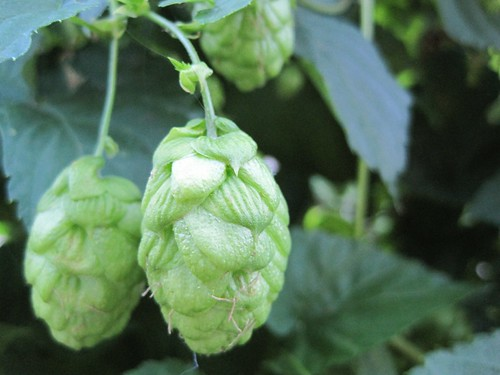 Sterling hop cones, developing bitter loveliness in mid-August