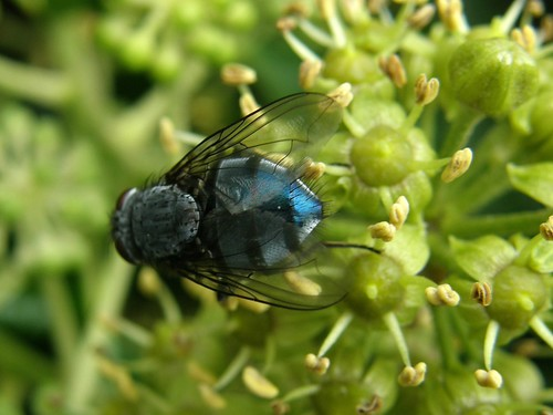 Shiny blue fly