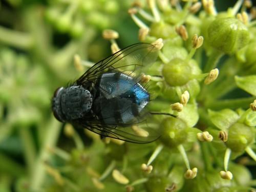 Shiny blue fly
