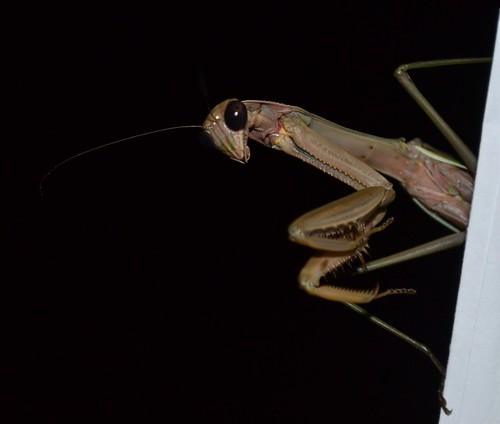 awesome preying mantis shot