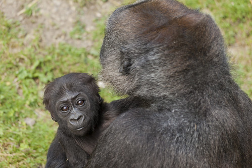 Baby Western Lowland Gorilla with Mother