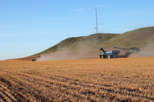 Cutting seed wheat in Regent ND