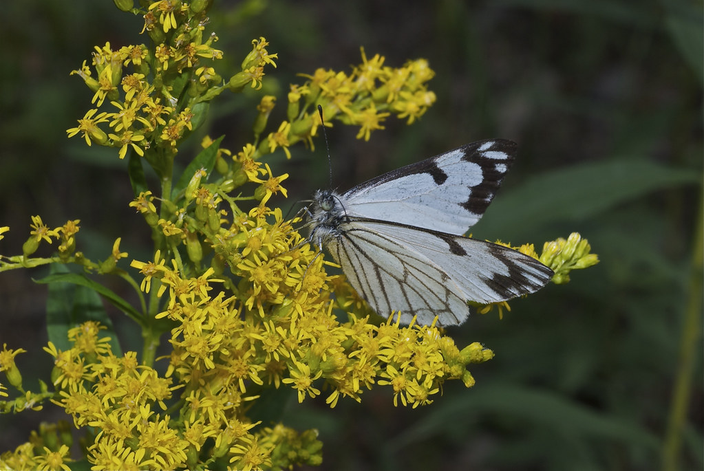 Pine White Butterfly on Goldenrod