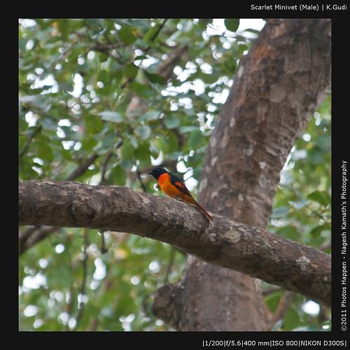 Scarlet Minivet (Male) | K.Gudi