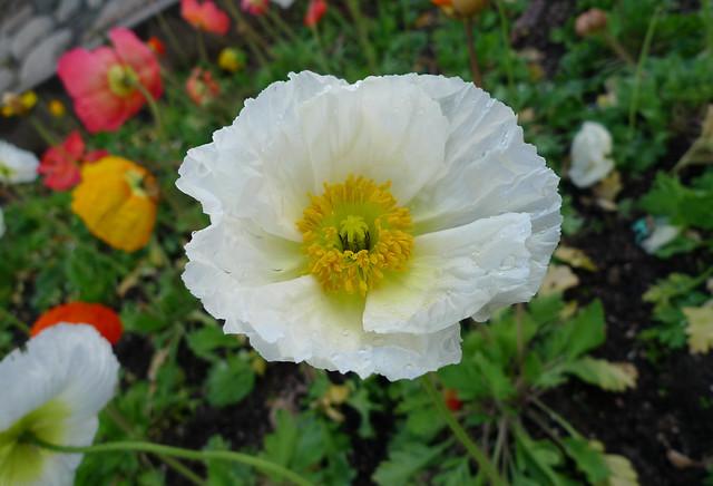 Flower of Redlands