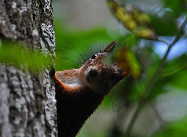 squirrel ekorre sciurus vulgaris