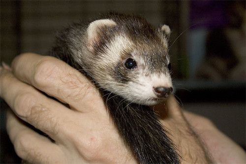 Little female foster ferret