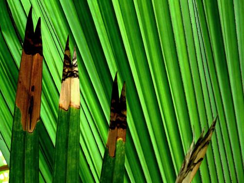fan palm 2
