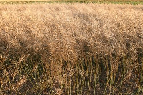 Canola is a delicate crop.
