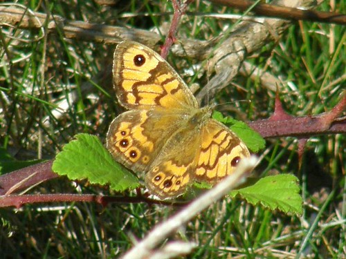 Wall brown - female