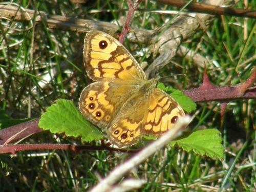 Wall brown - female