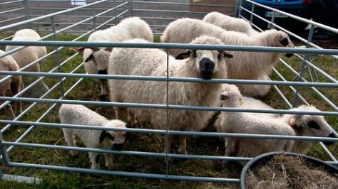France, sheep