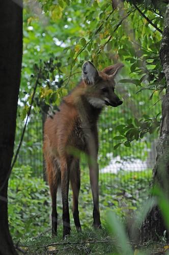 Mähnenwolf im Zoo de Maubeuge