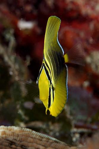 Zebrasoma veliferum 高鰭刺尾鯛