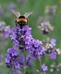 Bees in the Rose Garden, Abbey Gardens 28-07-2011