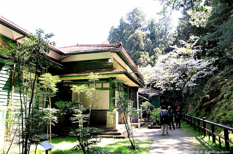 阿里山櫻花112