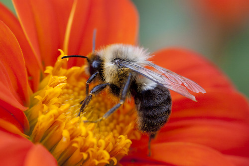 bee-at-work-in-the-Tithonia
