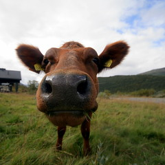 Norwegian Brown Cow