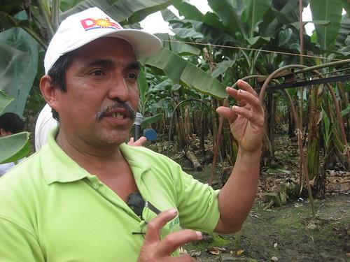 Bananos Ecuador. Hacienda Jambeli