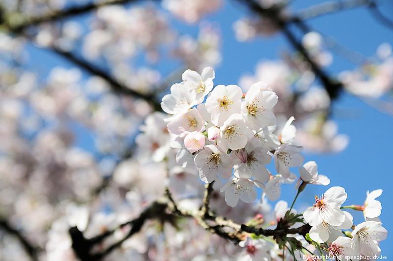 阿里山櫻花季84