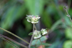 三保市民の森のガンクビソウ(Flower, Miho Community Woods)