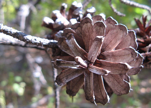 Pinecone closeup