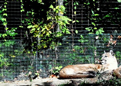 NC Zoo - Cougar (2)