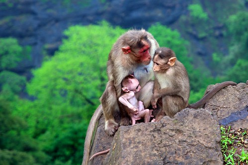 Happy Family: Apes in Khandala, Maharashtra