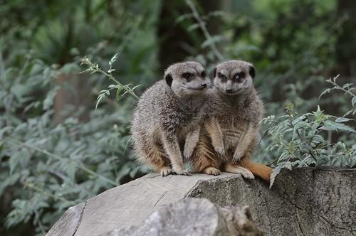 Erdmännchen im Parc zoologique de Champrepus