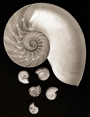 The Golden Section (dougchinnery.com) Tags: sea shells white black macro poster spiral fossil mono fineart shell inside toned chambers ammonites fossils nautilus spiralling thegoldensection