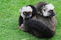 Weißkopfmakis im Parc zoologique de Champrepus