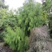 The green weeping conifer is Dacrydium cupressinum