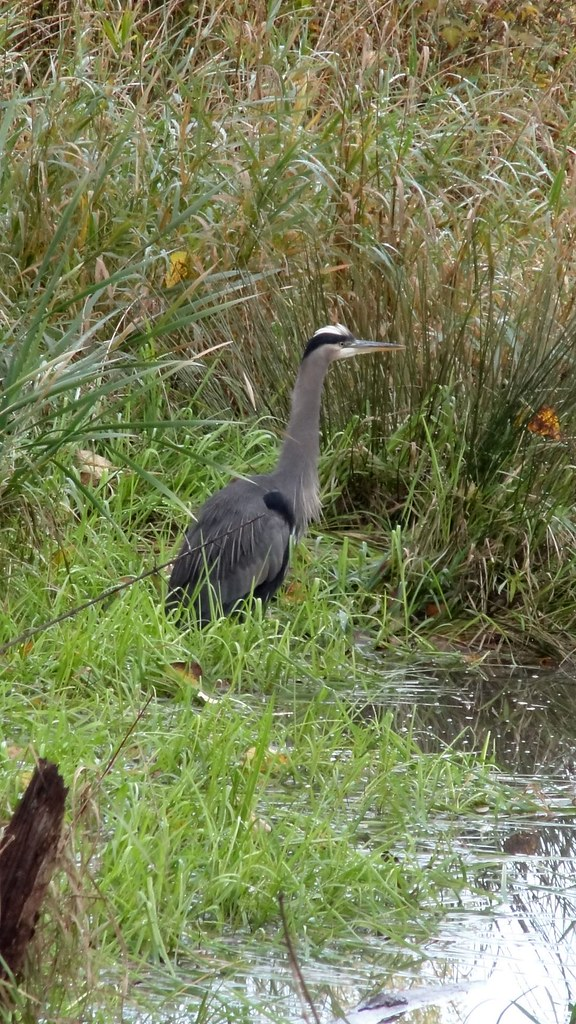 Heron at Burnaby Lake