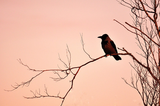sunset crow