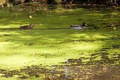 Les canards sur l'étang