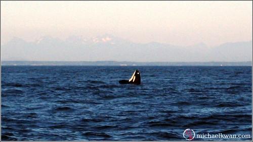 Whale Watching in Steveston (5 of 9)