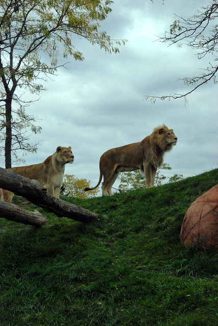 lion exhibit