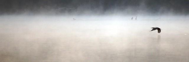 Lake Cormorant