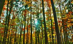 autumn-forrest Horn