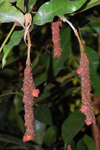 Noahdendron nicholasii