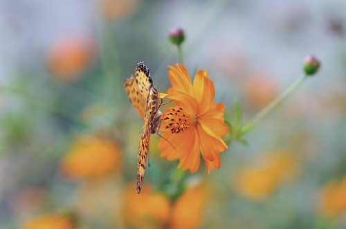 Yellow Cosmos by hidesax